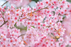 Pink cherry blossom. Or Sakura Royalty Free Stock Images