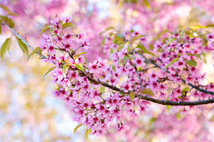 Pink cherry blossom, sakura flowers Royalty Free Stock Photography
