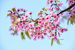 Pink cherry blossom, sakura flowers Royalty Free Stock Photo