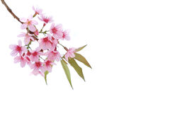 Pink Cherry blossom, sakura flowers isolated Royalty Free Stock Photos