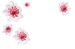 Pink cherry blossom sakura flowers in Japanese style Stock Image