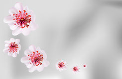 Pink cherry blossom sakura flowers in Japanese style Royalty Free Stock Photo