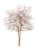 Pink Cherry blossom, sakura flowers on white background Royalty Free Stock Image