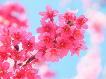 Pink Cherry blossom, Sakura, in nature with blue sky Stock Images