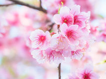 Pink Cherry blossom, Sakura, in nature with selective focus Royalty Free Stock Photos