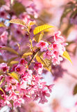 Pink cherry blossom Royalty Free Stock Images
