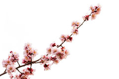 Pink cherry blossom or sakura on white Stock Image