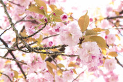 Pink Cherry Blossom a Several Size of Sakura Flowers Royalty Free Stock Photography