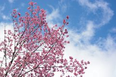 Pink Cherry Blossom and sky. Pink Cherry Blossom and winter sky royalty free stock images
