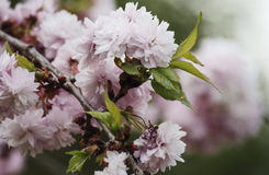 Pink cherry. Blossom in spring gently Stock Image