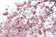 Pink cherry blossom in springtime. fullframe background. vintage. Retouch Stock Image