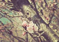 Pink cherry blossom on stemed stree Royalty Free Stock Images