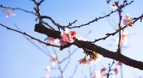Pink cherry blossom sukura flowers. The flower of a cherry tree which blooms Stock Photos