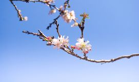 Pink cherry blossom sukura flowers. The flower of a cherry tree which blooms Stock Photo