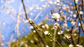 Pink cherry blossom sukura flowers. Pink blossom sakura flowers on a spring day in Japan Stock Photography