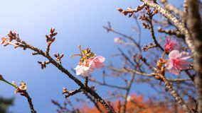 Pink cherry blossom sukura flowers. Pink blossom sakura flowers on a spring day in Japan Royalty Free Stock Images