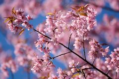 Pink Cherry blossom. In Thailand stock photography