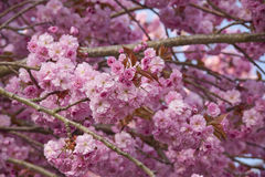 Pink cherry blossom tree Stock Images
