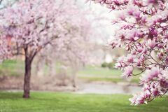 Pink Cherry Blossom Tree Stock Photography