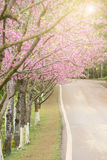 Pink cherry blossom tree and road Stock Photo