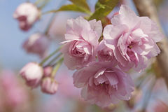Pink cherry blossom tree. In spring Royalty Free Stock Image