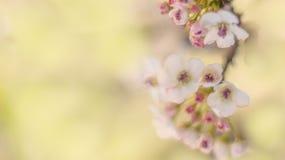 Cherry blossom tree. Pink cherry blossom tree in spring royalty free stock photos