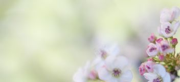Cherry blossom tree. Pink cherry blossom tree in spring royalty free stock photography