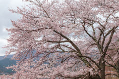 Pink cherry blossom tree in spring Kawaguchi lake, Japan Stock Photography