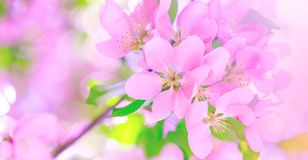 Pink cherry blossom on the tree during spring time. Branch of apple blossoms in amazing sunny day. Beautiful pink flowers as stock photos