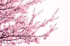 Pink cherry blossom tree at springtime Royalty Free Stock Image