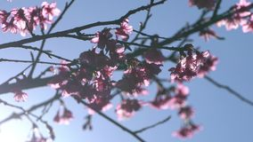 Pink cherry blossom tree with sunlight on blue sky.  stock footage