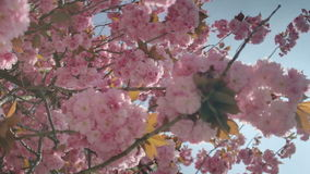 Pink Cherry Blossom Tree Twigs under Blue sky stock video