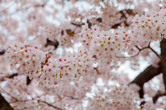 Pink cherry blossom trees along the pathway in springtime Stock Photography