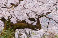 Pink cherry blossom trees along the sidewalk in springtime Royalty Free Stock Image