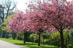 Pink cherry blossom trees, Royalty Free Stock Image