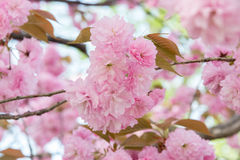 Pink cherry blossom. In Ueno Park, Tokyo Stock Photo