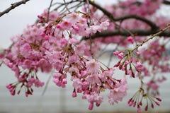 Pink cherry blossom Stock Photos