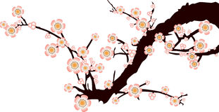 Pink Cherry Blossom, white background Royalty Free Stock Photo