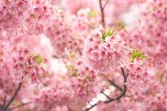Pink cherry blossomCherry blossom, Japanese flowering cherry on the Sakura tree. Sakura flowers are representative of Japanese f. Lowers. The main part of the Stock Photography