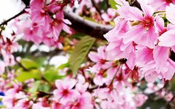 Pink cherry blossoms in Taiwan royalty free stock images