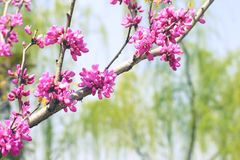 Pink cherry. Blossoming buds of a tree Royalty Free Stock Images