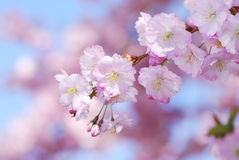 Pink cherry blossoms Stock Image