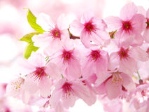Pink cherry blossoms Stock Images