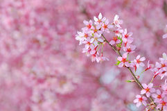 Free Pink Cherry Blossoms Stock Photo - 16976840