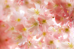 Pink cherry blossoms royalty free stock images