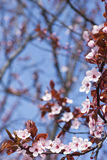 Pink cherry blossoms Royalty Free Stock Photos