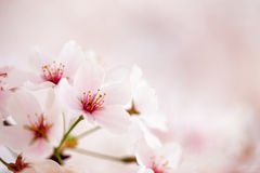 Free Pink Cherry Blossoms Royalty Free Stock Photo - 49845865