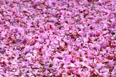 Pink Cherry Blossoms Royalty Free Stock Image