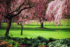 Pink cherry blossoms. Pink cherry blossom trees in park Stock Photo