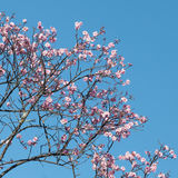 Pink Cherry Blossoms Against Blue Sky in Spring Royalty Free Stock Images